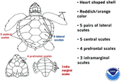 Body plan of a sea turtle