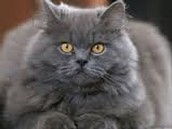 הנה חתול פרסי
