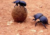 must not miss the wonderful dung beetle show!!!!!