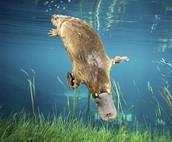 It is swimming.