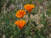 California Desert Poppy