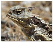 Horned Lizards