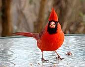 State Cardinal