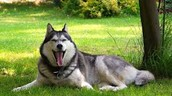 This husky is relaxing