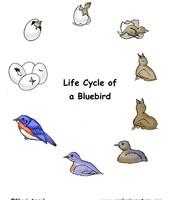 Blue Jays Life Cycle