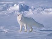 snow fox (Timmy)