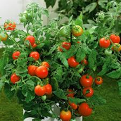 Does water affect the growth of tomato plants?