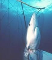 BLUE SHARK CAUGHT IN A FISHERMAN'S NET