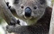 where koalas live