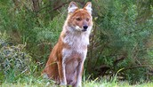 Dhole from the San Diego Zoo