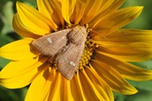 Sunflower Moth