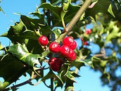 Holly and Mistletoe may look beautiful but can be harmful if swallowed