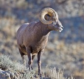 Interesting facts about Big Horn Sheep