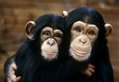 Chimps love eachother!