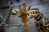 Giraffes are nearing Extinction