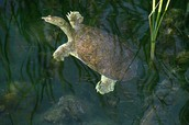 Eastern Spiny Softshell Turtle (Apalone spinifera)
