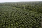 Palm Oil Deforestation - Indonesia