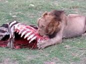 Lions eat wildanimals