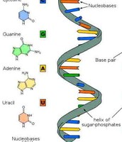 this is RNA (ribonucleic acid)