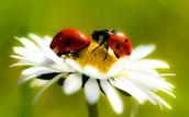 new York ladybug
