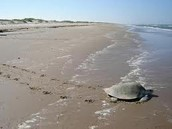 Free Turtle!