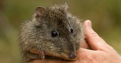 long nose potoroo