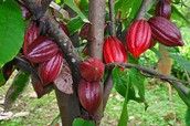 Cacao Tree (Chocolate)