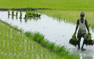 Farming- Rice