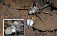 Kaua'i Cave Wolf Spider Mother