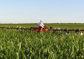 What is corn detasseling?