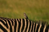 Zebra and an Bird