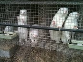 Caged minks waiting to be saved or killed.