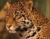 About Jaguar