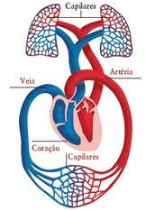 Anatomia externa do coração com os vasos sanguíneos