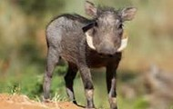 Warthogs are cool even when they're babies