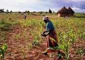 Agriculture is what helps the economy grow at a steady rate