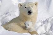 How do polar bears clean themselves ?