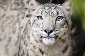 Conservation Species: Snow Leopard