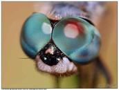 Giant Darner Dragonfly's compound eye.