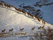 Elk migration