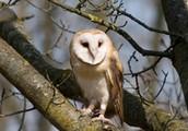 Barn Owl sitting on a tree branch