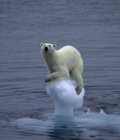 Polar Bear Trapped on Melting Icecap
