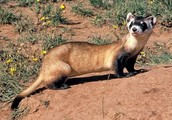 Basic Info a About Black Footed Ferret