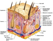 Structure and Function of the Integumentary System