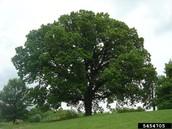 IOWA STATE TREE