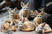Fennec's Family