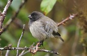 Small Tree Finch