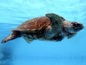 Come and swim with amazing animals like the the loggerhead turtle