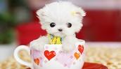 Tea Cup Pup