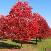 Provincial Tree